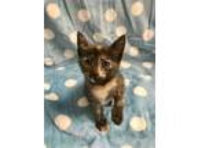 Adopt Dunkaroo KITTEN SHOWER ATTENDEE a Gray or Blue Domestic Shorthair /