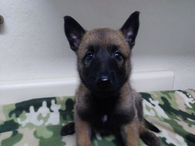 Belgian Malinois PUPPY FOR SALE ADN-89671 - AKC Malinois Puppies