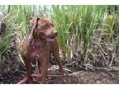 Adopt Luci a Shar Pei, Labrador Retriever