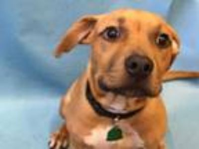 Adopt London a Tan/Yellow/Fawn American Pit Bull Terrier / Mixed dog in Golden