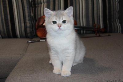 white british shorthair kitten