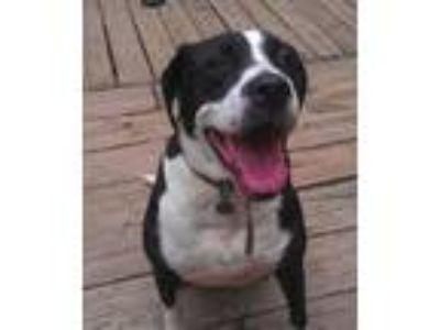 Adopt Julius a Labrador Retriever, Boxer