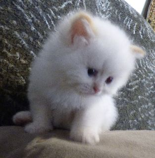 CFA Registered Male Flame Point Himalayan Kitten