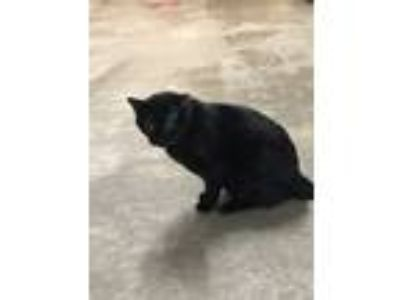 Adopt Dobrick a Domestic Short Hair