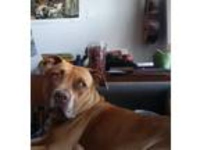 Adopt Peanut a Red/Golden/Orange/Chestnut American Pit Bull Terrier / Mixed dog