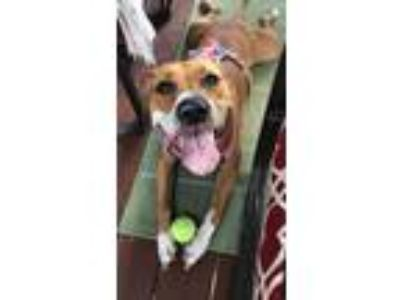 Adopt Brownie a Brown/Chocolate - with White American Pit Bull Terrier / Mixed
