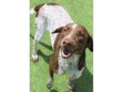 Adopt Cindi a Brittany Spaniel, Mixed Breed