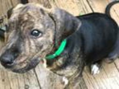 Adopt World Cup Pups: Carli a Terrier, Pit Bull Terrier
