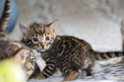 TICA Registered Bengal Kittens - the BEST TEMPERAMENTS