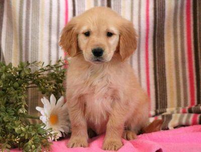 Golden Retriever PUPPY FOR SALE ADN-71280 - Golden Retriever Puppy for Sale