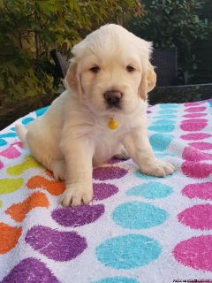 Healthy Golden retriever puppies for sale