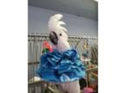 Adopt Angel a Cockatoo