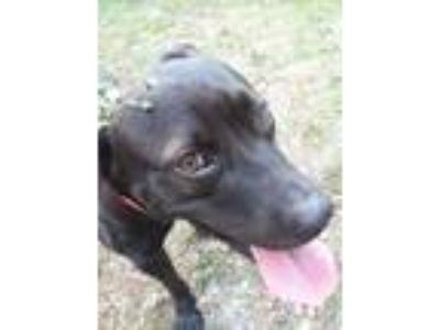 Adopt Hannah a Black - with White Labrador Retriever / American Pit Bull Terrier