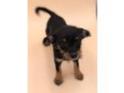 Adopt Harlie a Terrier (Unknown Type, Small) / Mixed dog in Thousand Oaks
