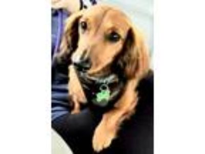 Adopt Henry a Red/Golden/Orange/Chestnut - with Black Dachshund / Mixed dog in