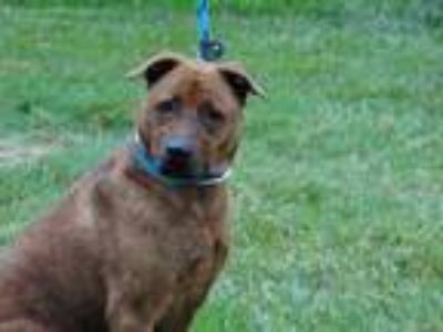 Adopt CHARITY a Brown/Chocolate American Pit Bull Terrier / Mixed dog in
