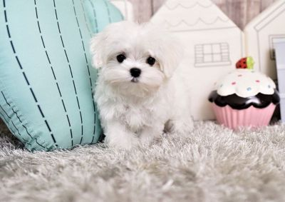 Annabelle the Microteacup Maltese