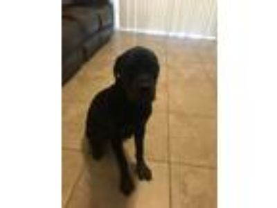 Adopt Rocky a Black Rottweiler dog in Plant City, FL (25543623)