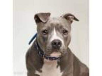Adopt Lani a American Pit Bull Terrier / Mixed dog in Dublin, CA (25817443)
