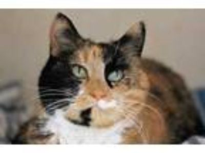 Adopt Nahla a Orange or Red Domestic Shorthair / Domestic Shorthair / Mixed cat