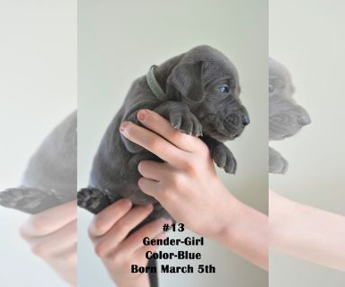 Great Dane PUPPY FOR SALE ADN-126196 - AKC Great Danes