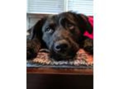 Adopt Terra a Labrador Retriever, Collie