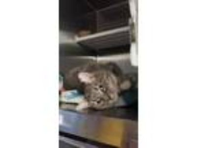 Adopt Meridian a White Domestic Shorthair / Domestic Shorthair / Mixed cat in
