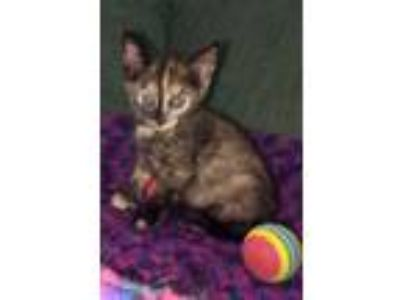 Adopt Honor a Domestic Short Hair, Tortoiseshell