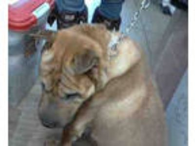 Adopt WEBSTER a Tan/Yellow/Fawn Shar Pei / Mixed dog in Chicago Ridge