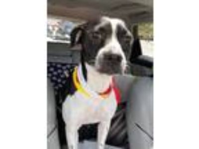 Adopt Arcadia SDR in TX a Boston Terrier, Labrador Retriever