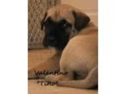 Adopt Valentino aka Tino a Tan/Yellow/Fawn - with White Labrador Retriever /