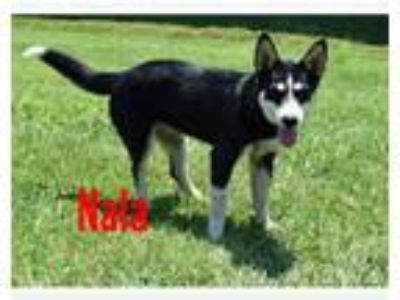 Adopt Nala a Black - with White Husky / Mixed dog in Coal City, IN (25923421)