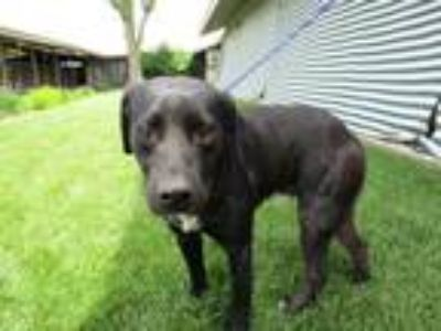 Adopt MIKEY a Labrador Retriever / Mixed dog in Lindsay, CA (25328566)