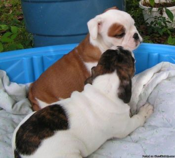 AKC English Bulldog puppies ready for re