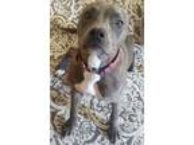 Adopt Marley a Brindle - with White American Pit Bull Terrier dog in Wyoming