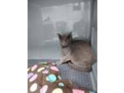 Adopt Vulcan a Gray or Blue (Mostly) American Shorthair (short coat) cat in
