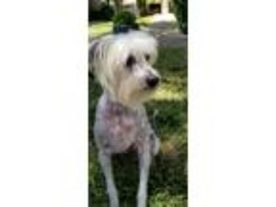 Adopt Riley a White Chinese Crested / Mixed dog in Dallas, TX (25453933)