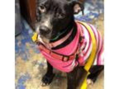 Adopt Polly a Black American Staffordshire Terrier / Labrador Retriever / Mixed