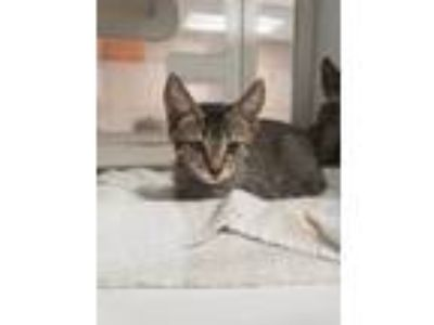 Adopt Poki a Domestic Short Hair