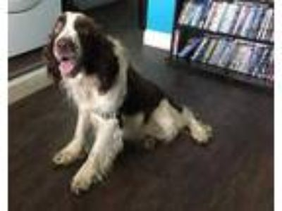 Adopt 41921800 a Brown/Chocolate English Springer Spaniel / Mixed dog in Monks