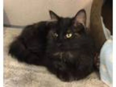 Adopt Cameo a Tortoiseshell Domestic Longhair / Mixed (long coat) cat in