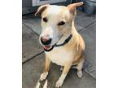 Adopt Fletch a Tan/Yellow/Fawn - with White Labrador Retriever / Collie / Mixed
