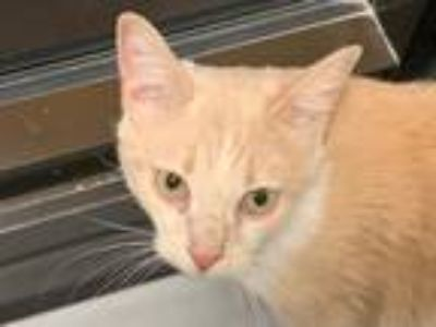 Adopt Little Bitty Betty a Orange or Red Domestic Shorthair / Mixed (short coat)