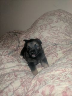 German Shepherd Dog PUPPY FOR SALE ADN-62265 - German Shepherd Puppies