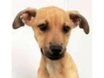 Adopt Uzziah a Tan/Yellow/Fawn Black Mouth Cur / Mixed dog in Morton Grove