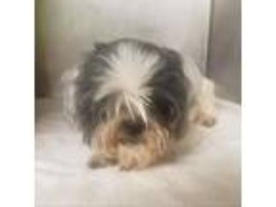 Adopt Pierre a White - with Tan, Yellow or Fawn Shih Tzu dog in Columbus
