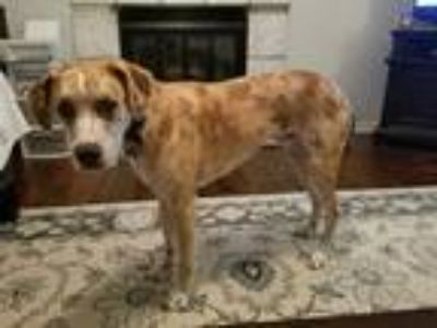 Adopt Otis a White - with Tan, Yellow or Fawn Catahoula Leopard Dog / Mixed dog