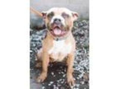 Adopt Queenie a Brown/Chocolate American Pit Bull Terrier / Mixed dog in