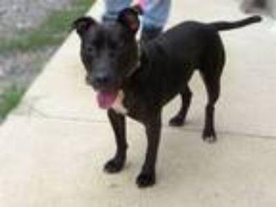 Adopt Hondo a Pit Bull Terrier