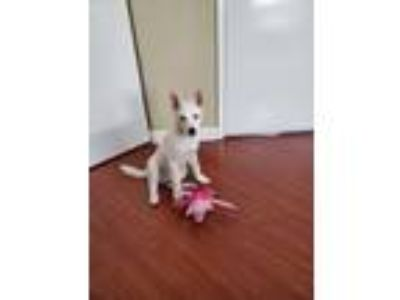 Adopt Lady a White Husky / American Pit Bull Terrier dog in San Jose